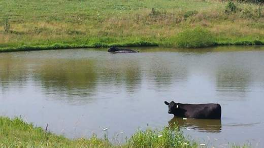 A heiffer takes a swim in a pond near Willard, Mo. The herd has approximately 10 head of cattle.